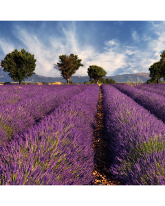 Lavendelhonig, cremig